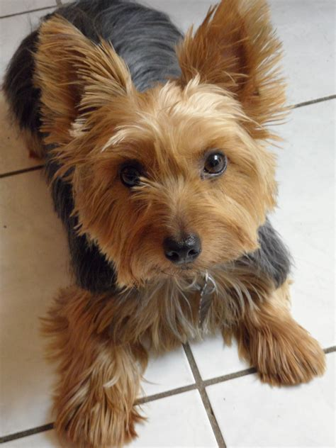 haircuts for yorkshire terriers with silky hair silky terrier hair cut silky terrier haircuts dog breeds
