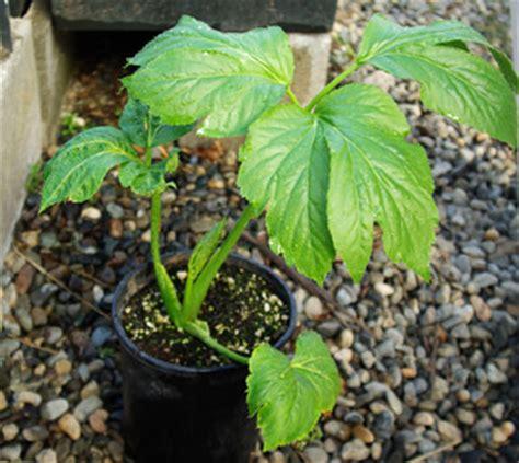 Teh Ashitaba ashitaba khasiatnya melebihi teh hijau info obat herbal