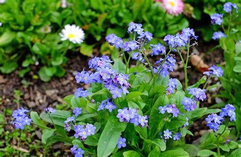 Blume Vergiss Mein Nicht 3822 blume vergiss mein nicht foto vergissmeinnicht