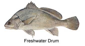 Freshwater Drum image courtesy of [include photo credit here]