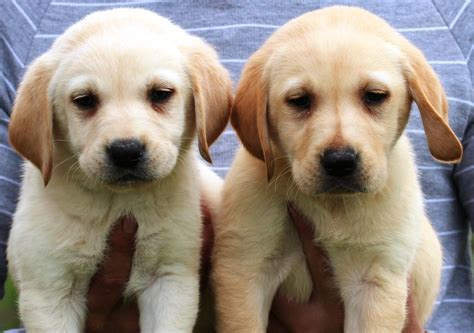 golden lab puppies gorgeous golden labrador pups ready now newark