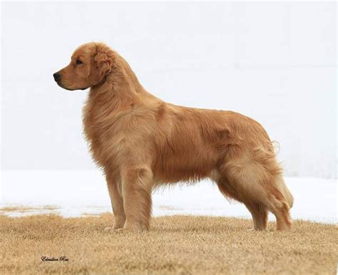 grooming golden retriever best 25 grooming golden retriever ideas on grooming tips