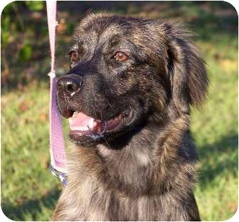 boxer puppies orlando florida adopted puppy orlando fl australian shepherd boxer mix