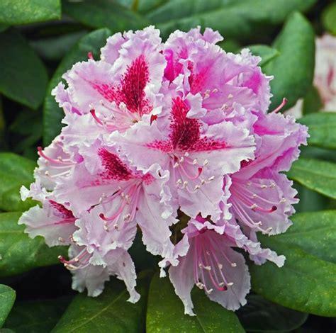 rododendro in vaso rododendro rhododendron consigli coltivazione e cura