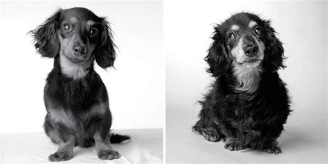at what age do puppies calm age defying adorableness pics of aging dogs show them grow from puppies to age