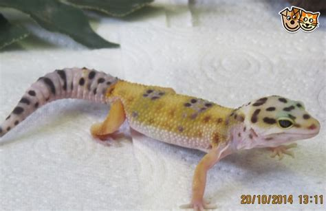 Baby Leopard Gecko Shedding by Baby Leopard Geckos Colchester Essex Pets4homes