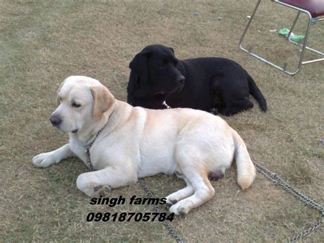 labrador puppy price labrador retriever price in india labrador retriever puppy for sale in labrador
