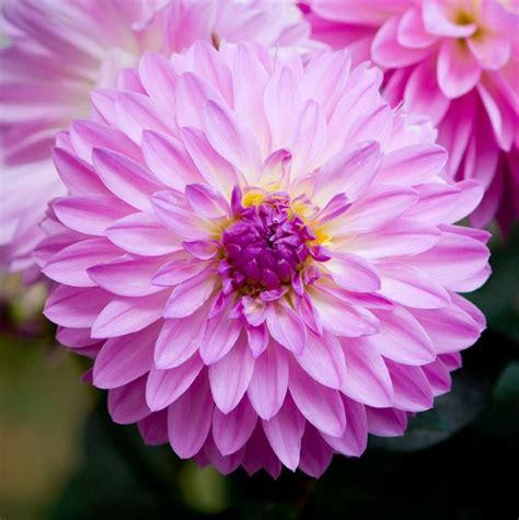 Tanaman Dahlia 3 cara menanam dan merawat bunga dahlia serta manfaatnya pesonataman