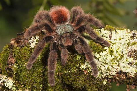 The Pink Tarantula pink toe tarantula habitat