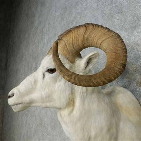 dall ram for sale dall sheep shoulder mount for sale 15075 the taxidermy