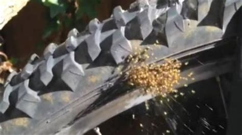 Garden Spider Exploding Exploding Yellow Spiders Spotted Across Britain Are
