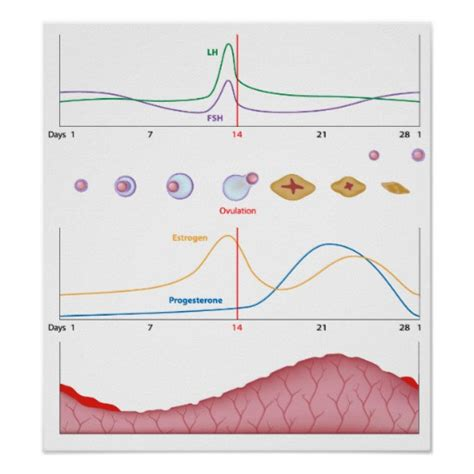 menstrual cycle after c section female menstrual cycle poster zazzle