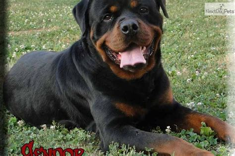 rottweiler puppies for sale st louis rottweiler puppy for sale near st louis missouri d3746bb3 a981
