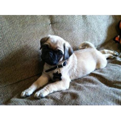 pug breeders in newfoundland pug breeder in newfoundland and labrador bickford kennels