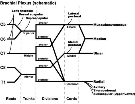 brachial plexus diagram brachial plexus medchrome