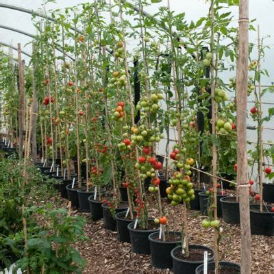 Cherry Bed Frame Growing Tomatoes How To Grow Tomatoes