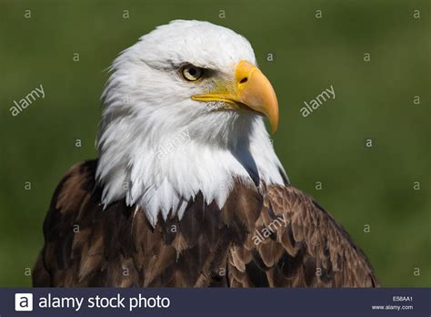 bald eagle at birds of prey coaldale alberta stock photo