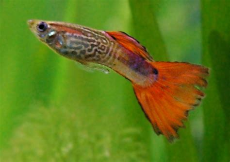 File Guppy Male Jpg Wikimedia Commons Guppies Coloring Page