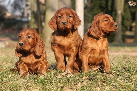 red setter dogs and puppies for sale irish setter dog breed information buying advice photos