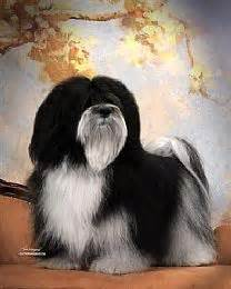 adora havanese havanese information and havanese pictures