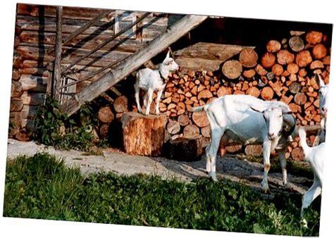 ziegen beim decken landwirtschaftliche vereinigung saanenland kleinvieh pferde