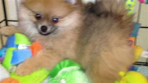 puppies for sale riverside ca pomeranian puppies for sale riverside ca