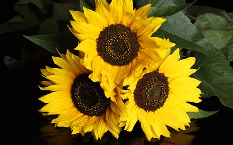 imagenes de flores de girasol eres el due 241 o de crear tu propia realidad tres bonitos