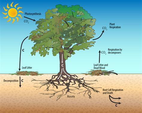 what does a tree to do with 1a trees the carbon storage experts