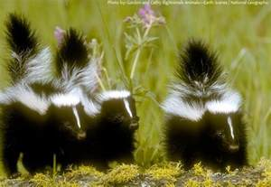 can skunk spray blind a interesting facts about skunks just facts