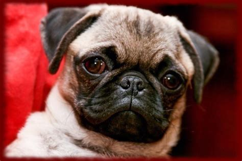baby and pug puppies baby pug puppy wallpapers android apps on play