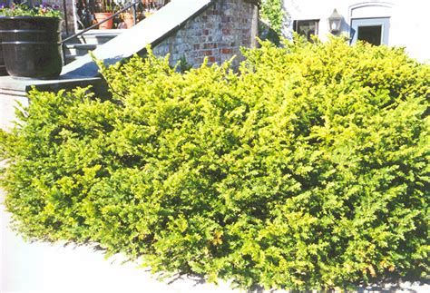 taunton s yew taxus x media tauntonii in minneapolis