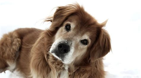 alimentazione cani anziani anziano alimentazione e malattie dei cani anziani