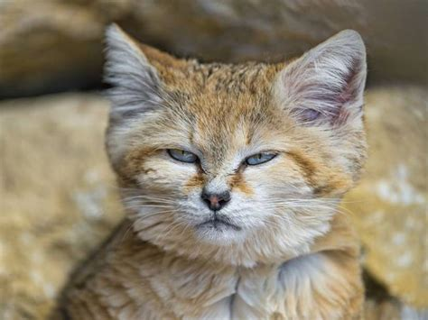 9 things you didn t about the sand cat mnn nature network