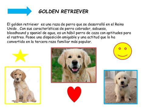golden retriever caracteristicas golden retriever