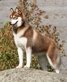 Light Therapy Mask Beautiful Red Siberian Husky More Dog Breeds I Like