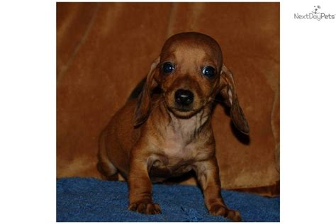golden dachshund puppies for sale mini weiner puppies book covers