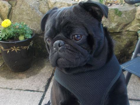 pug cardiff gorgeous black pug available at stud only cardiff cardiff pets4homes