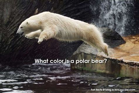 what color is polar fur what color is a polar bears hair what color are polar