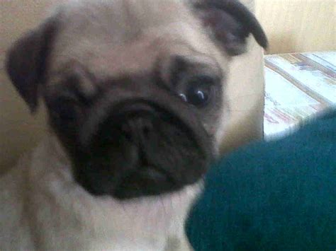 how to look after a pug puppy pug puppies for sale for sale in tunbridge toilet trained pug puppies models