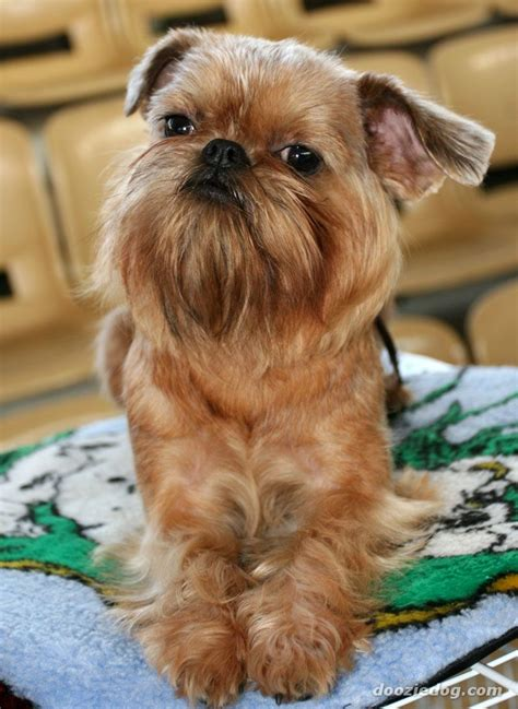 griffon dogs these tiny dogs that can t wait to cuddle with you are undeniably adorable