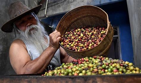 Mesin Kopi Arabica foto perkebunan jateng kopi arabika dihasilkan sumowono feature 187 semarangpos