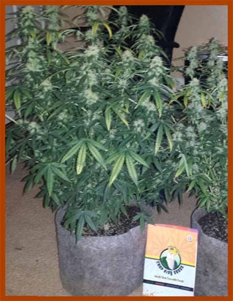 Crop King Marijuana Seeds Canada Buy Cannabis Seeds For Sale Northern Lights Outdoor Yield