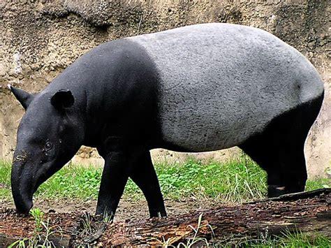 Batu Akik Lawas Unik Kode 49 ivanildosantos gambar tapir