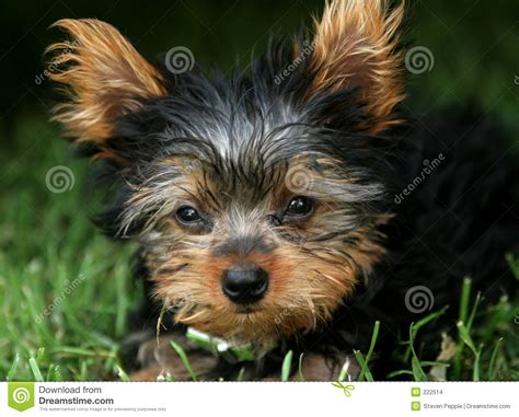 how big does a yorkie pomeranian mix get previous puppies barkin barnyard kennels portland newhairstylesformen2014