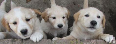 golden retriever husky mix puppies for sale husky golden retriever mix for sale washington dogs our friends photo
