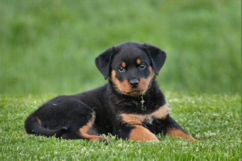 rottweiler characteristics rottweiler temperament personality traits canna pet 174