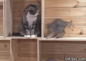cats   obsessed  catching  tails gifs