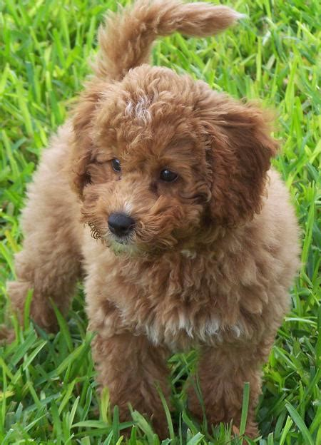 mini labradoodle puppies tigger the miniature labradoodle puppies daily puppy