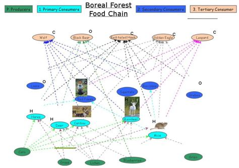 food web maker boreal forest food chain diagram foodfash co