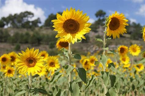 imagenes de flores de girasol flores de girasoles floresyplantas net